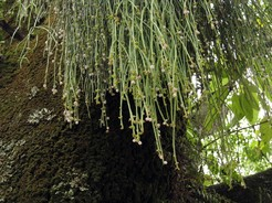 Рипсалис, ягодный, Rhipsalis, baccifera, кактус, фото, описание, уход