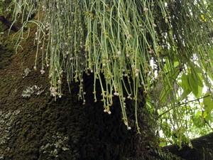 Рипсалис ягодный, Rhipsalis baccifera