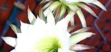 Harrisia-martinii1
