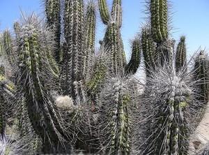 Кактус Эвлихния Сен-Пи - Eulychnia saint-pieana, описание и фото