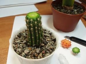 Подвои для кактусов