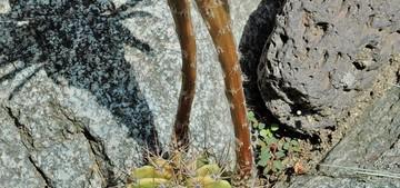 Кактус Трихоцереус белеющий - Trichocereus candicans, описание и фото