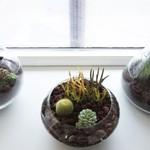 Кактусы в домашних условиях: 10 правил