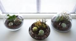 Кактусы в домашних условиях выращивать как? Правила ухода в домашних условиях