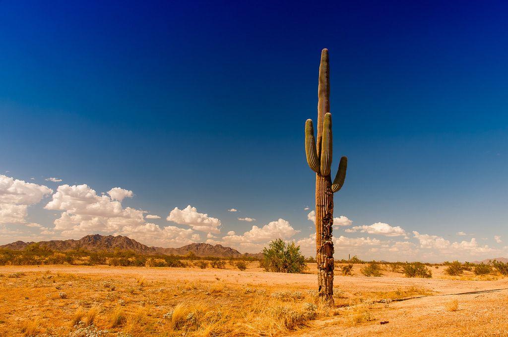 фото, большие кактусы, огромные кактусы в пустыне, большие кактусы на фоне, человек и кактус сравнение