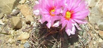 Кактус Эхинокактус горизонтальный - Echinocactus horizonthalonius, описание и фото