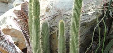 Клейстокактус, Cleistocactus tominensis, кактусы