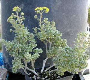 Аихризон Извилистый. Полукустарничек высотой около 20 см с мясистыми листьями и желтыми звездчатыми цветками. Бытовое английское название - Gouty Houseleek, что переводится как «подагрическое (или опухшее) молодило».