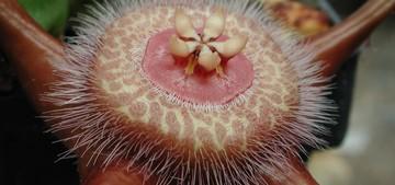 Дювалия Кордероя (Duvalia Corderoyi) Стебли короткие, 4-х гранные, зеленые или серо-зеленые, покрыты бугорками. Цветки красновато-коричневые. Этот вид отличается от прочих видов рода наличием густого, лиловатого опушения на внешней короне цветка.