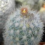 Эскобария Оркутта — Escobaria orcuttii