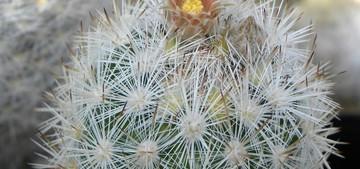 Кактус Эскобария Оркутта - Escobaria orcuttii, описание и фото