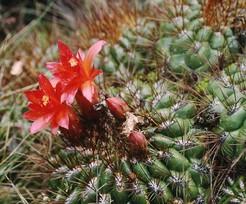 Матукана оранжевая, Matucana aurantiaca