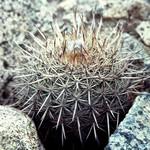 Arequipa spinosissima Ritt.
