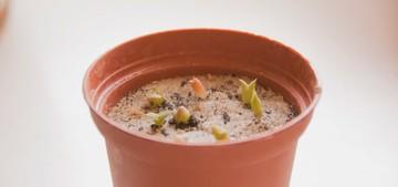Как вырастить кактусы из семян? выращивание и уход за сеянцами кактусов