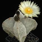 Астрофитум крапчатый четырехреберный — Astrophytum myriostigma var. quadricostatum