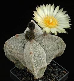 мир кактусов, кактусы, уход за кактусами, статьи о кактусах