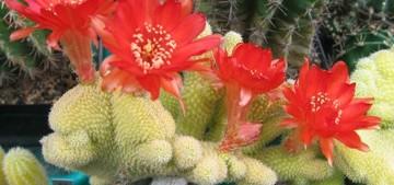Кактус Хамецереус Сильвестра разн. толстостебельная гребенчатая - Chamaecereus silvestrii var . crassicaulis f . cristata, описание и фото