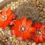 Дигиторебуция — Digitorebutia brunescens