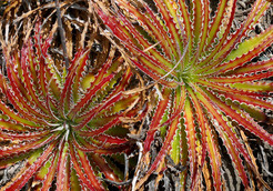 Род Гехтия (Hechtia, семейство Бромелиевые) объединяет около 50 видов растений, произрастающих в засушливых областях от Мексики до Техаса. Гехтии - растения двудомные, поэтому получить семена в комнатных условиях нелегко. Размножают гехтии дочерними розетками.