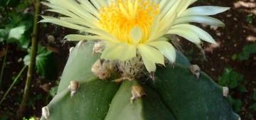 Astrophytum myriostigma subv. nudum