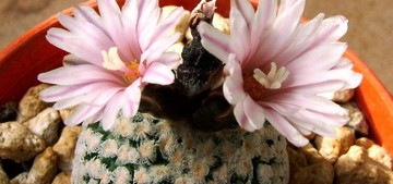 Кактус Турбиникарпус Вальдеза - Turbinicarpus valdezianus, описание и фото