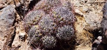 Gymnocalycium-saglionis-tilcarense