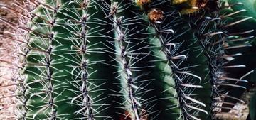Кактус Ферокактус ощетиненный - Ferocactus horridus, описание и фото