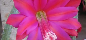 Гелиоцереус изящный - Heliocereus speciosus, описание кактуса, кактус фото