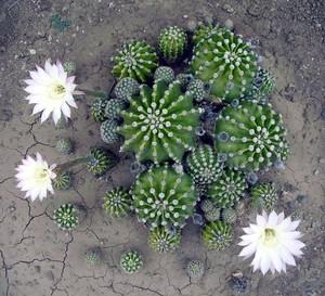 Кактус Эхинопсис острореберный - Echinopsis oxygona, описание и фото