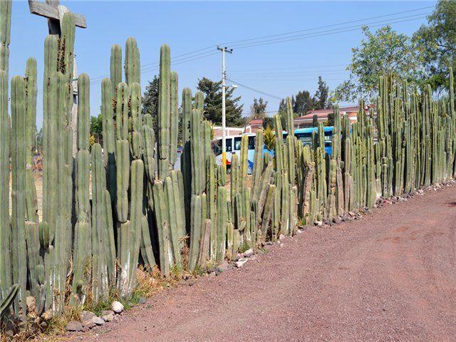 Кактусы в Мексике иногда используют в качестве живой изгороди, как настоящий забор