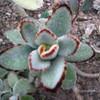 Каланхоэ Войлочное (Kalanchoe Tomentosa) - фото и описание Листья продолговатые, длиной 5 -6 см, серебристо-зеленые, с коричневой полосой по краю, опушенные. Цветение очень обильно; цветки мелкие, собраны в небольшое соцветие.