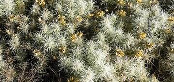 Кактус Цилиндропунция чехольчатая - Cylindropuntia tunicata, описание и фото