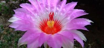Кактус Телокактус двуцветный - Thelocactus bicolor, описание и фото