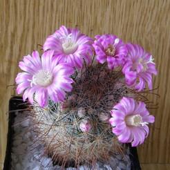 Крайнция длинноцветковая, Krainzia longiflora, описание, фото