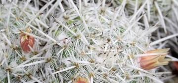 Маммиллярия Паркинсона, Mammillaria parkinsonii
