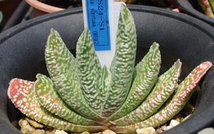 Гастерия Килеватая (Gasteria Carinata)    Гастерия Килеватая - сильноветвистый кустарник высотой около 10 см. Листья очень разнообразны по форме и окраске - обратноланцетные или продолговато-лопатчатые, иногда уплощенные, зеленые или серовато-зеленые