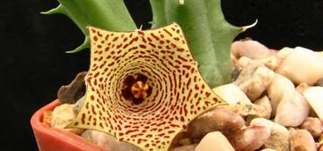 Род Гуэрния (Huernia, семейство Ластовниевые). Род назван в честь датчанина Ю. Хуэрниуса, миссионера и ботаника. Гуэрнии - низкорослые растения с сочными стеблями, ветвящимися от основания.