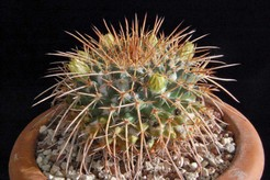Маммиллярия гигантская, кактус, Mammillaria gigantea