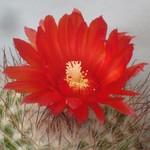Пародия кровавоцветковая — Parodia sanguiniflora