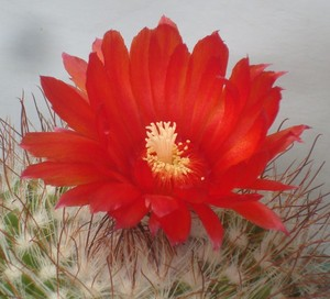 Пародия кровавоцветковая, Parodia sanguiniflora