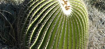 Кактус Эхинокактус плоскоколючковый - Echinocactus platyacanthus, описание и фото