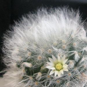 Маммиллярия белокудрая, кактус, Mammillaria albicoma