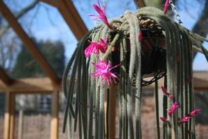 Кактус Апорокактус плетевидный - Aporocactus flagelliformis, описание и фото, лесные и тропические кактусы