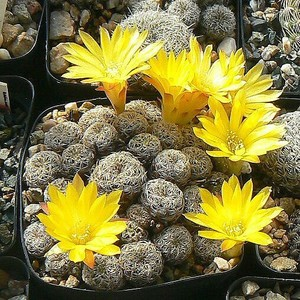 Кактус Сулькоребуция Лангера - Sulcorebutia langerii, описание и фото