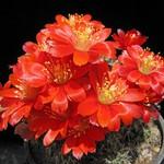 Дигиторебуция чернеющая — Digitorebutia nigricans
