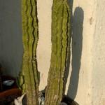 Необуксбаумия молочайная — Neobuxbaumia euphorbioides