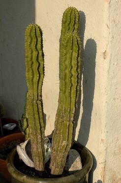 Необуксбаумия молочайная, Neobuxbaumia euphorbioides