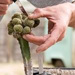 Размножение кактусов черенками