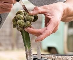Черенкование кактусов