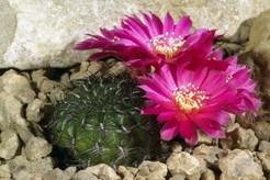 Кактус Сулькоребуция кантаргальская - Sulcorebutia cantargalloensis, описание и фото